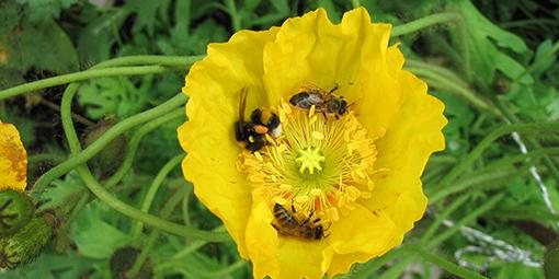 Friedliche Co-Existenz von zwei Honigbienen und einer Erdhummel in einer Blüte