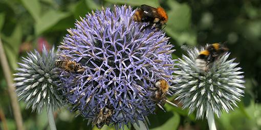 Kugeldistel mit zwei Honigbienen und drei Hummeln